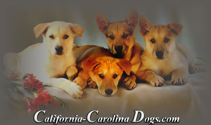 Carolina Puppies Gallery