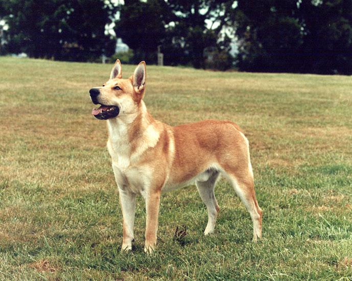 carolina dog hakkında genel bilgiler